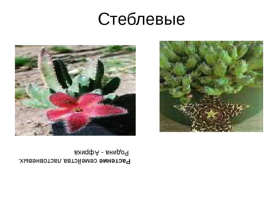 Стеблевые Растение семейства ластовневых. Родина - Африка