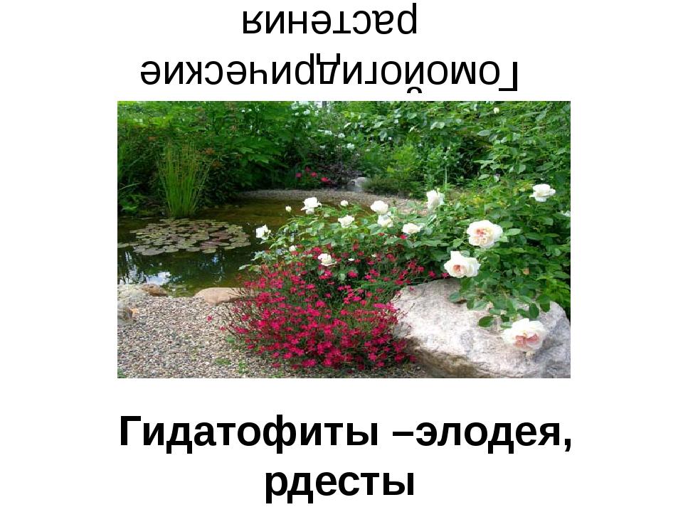 Гомойогидрические растения Гидатофиты –элодея, рдесты