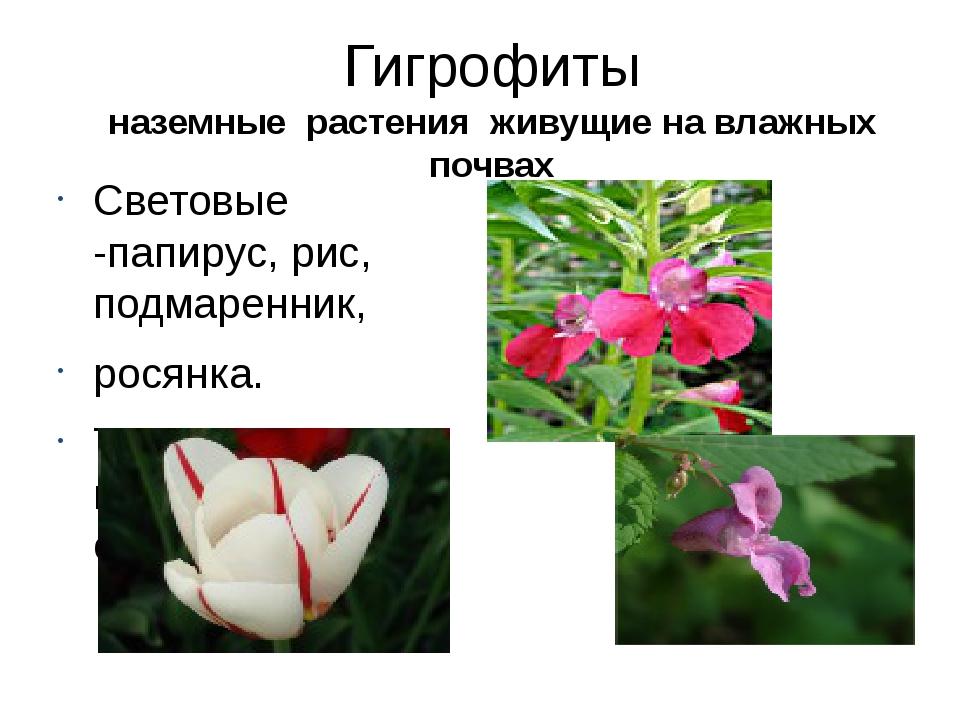 Гигрофиты наземные растения живущие на влажных почвах Световые -папирус, рис,...