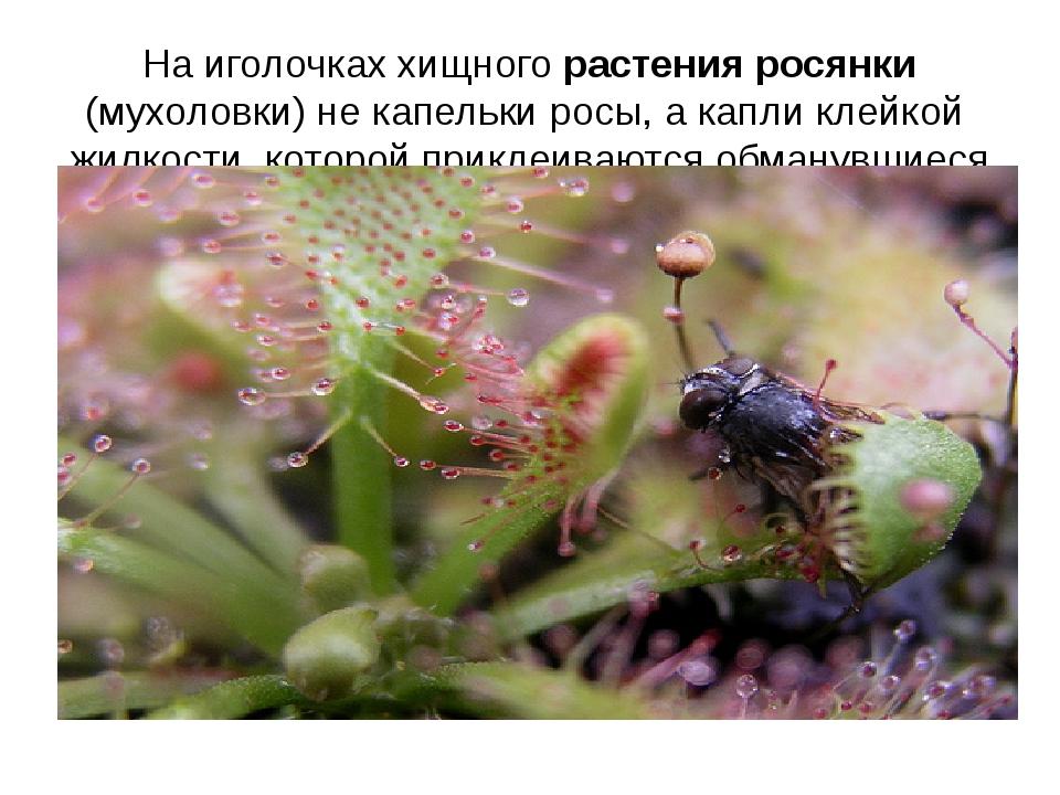 На иголочках хищного растения росянки (мухоловки) не капельки росы, а капли к...