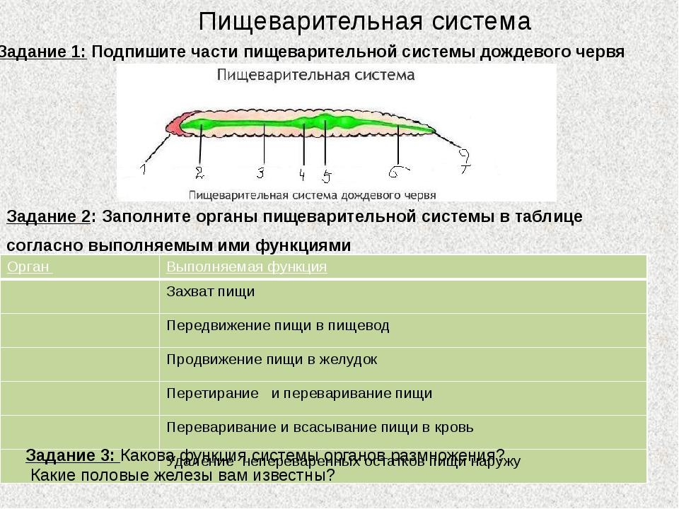 Пищеварительная система Задание 1: Подпишите части пищеварительной системы до...