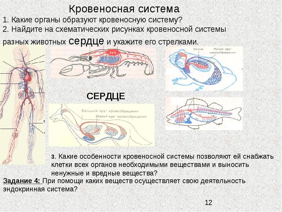 Кровеносная система СЕРДЦЕ 1. Какие органы образуют кровеносную систему? 2....