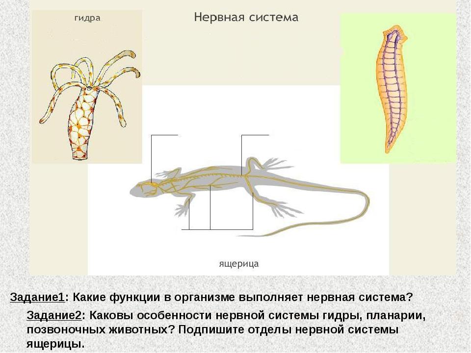 Задание1: Какие функции в организме выполняет нервная система? Задание2: Како...