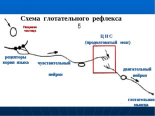 Пищевая частица рецепторы корня языка чувствительный нейрон Ц Н С (продолгова