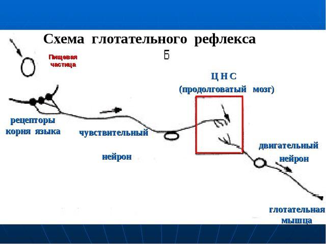 Пищевая частица рецепторы корня языка чувствительный нейрон Ц Н С (продолгова...