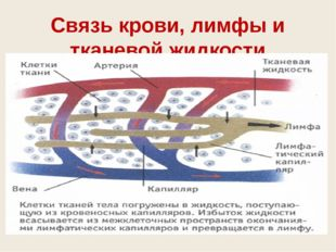 Связь крови, лимфы и тканевой жидкости