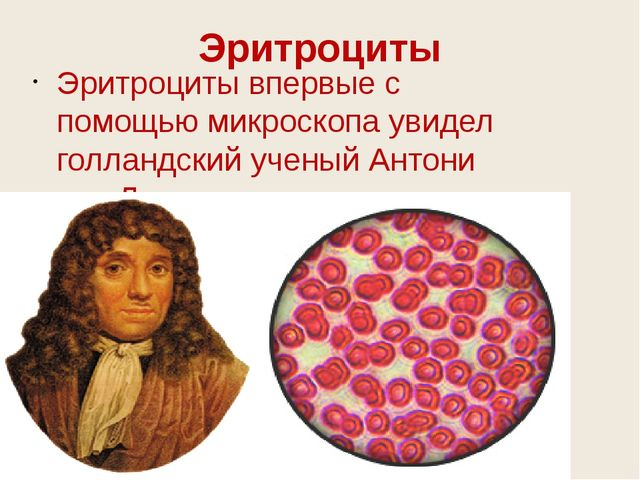 Эритроциты впервые с помощью микроскопа увидел голландский ученый Антони ван...