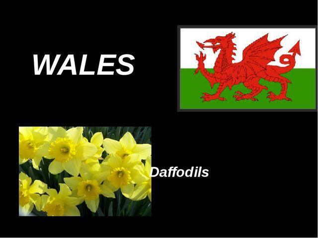 WALES Daffodils