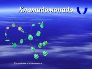 Хламидомонада Размножение хламидомонады