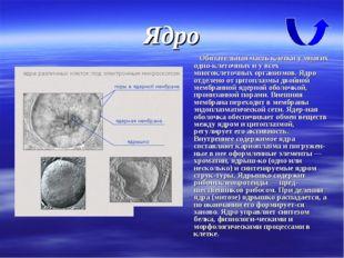 Ядро Обязательная часть клетки у многих одноклеточных и у всех многоклеточны