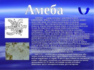 АМЕБЫ — одноклеточные животные класса корненожек. Форма тела непостоянная, в