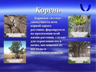 Корень Корневая система – совокупность всех корней одного растения; формирует