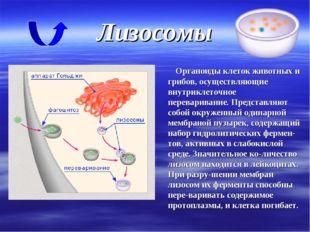 Лизосомы Органоиды клеток животных и грибов, осуществляющие внутриклеточное п