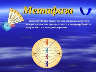 Метафаза — микротрубочки образуют митотическое веретено, каждая хромосома при