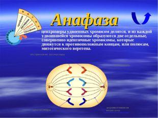 — центромеры удвоенных хромосом делятся, и из каждой удвоившейся хромосомы об