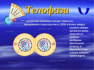 Телофаза — хромосомы начинают раскручиваться, превращаясь в рыхлую массу ДНК