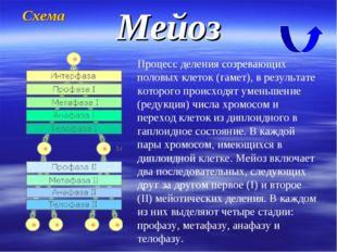 Мейоз Процесс деления созревающих половых клеток (гамет), в результате которо