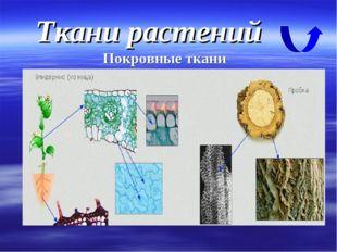 Ткани растений Покровные ткани