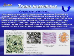 Ткани животных Соединительная ткань Объединяет группу тканей с общими происхо