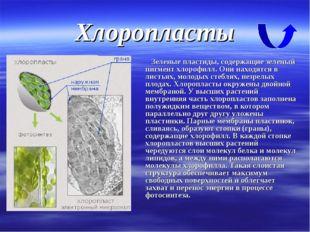 Хлоропласты Зеленые пластиды, содержащие зеленый пигмент хлорофилл. Они наход