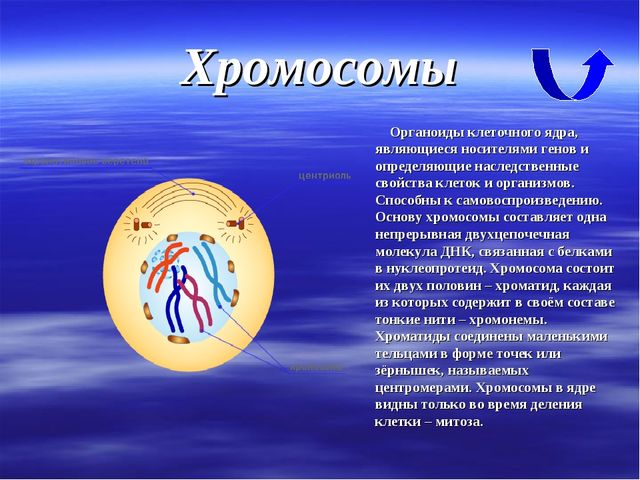 Хромосомы Органоиды клеточного ядра, являющиеся носителями генов и определяющ...