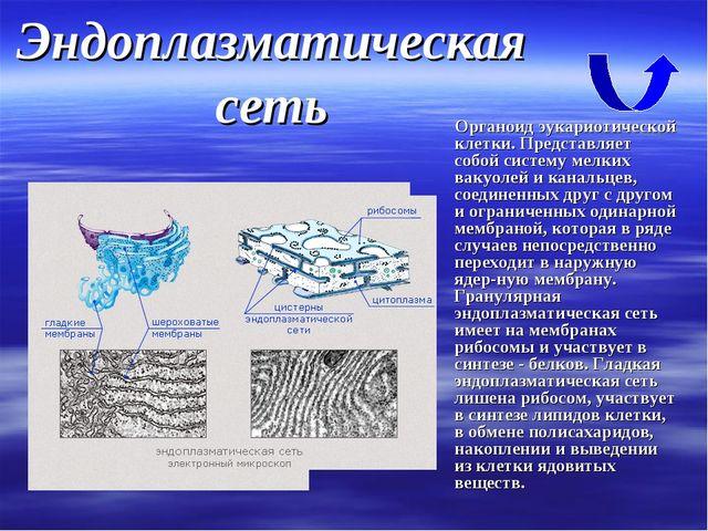 Эндоплазматическая сеть Органоид эукариотической клетки. Представляет собой с...