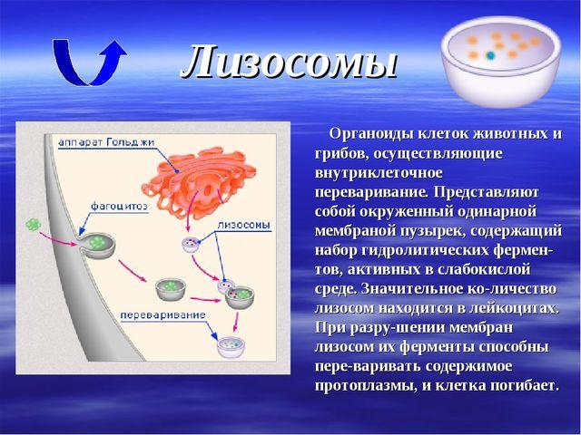 Лизосомы Органоиды клеток животных и грибов, осуществляющие внутриклеточное п...