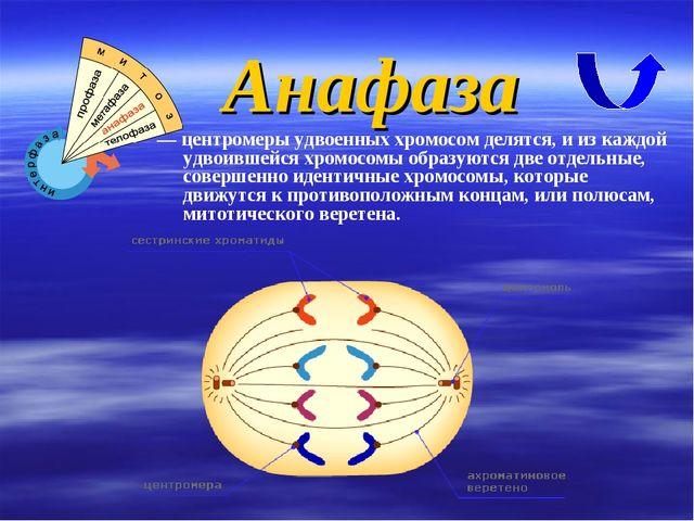 — центромеры удвоенных хромосом делятся, и из каждой удвоившейся хромосомы об...