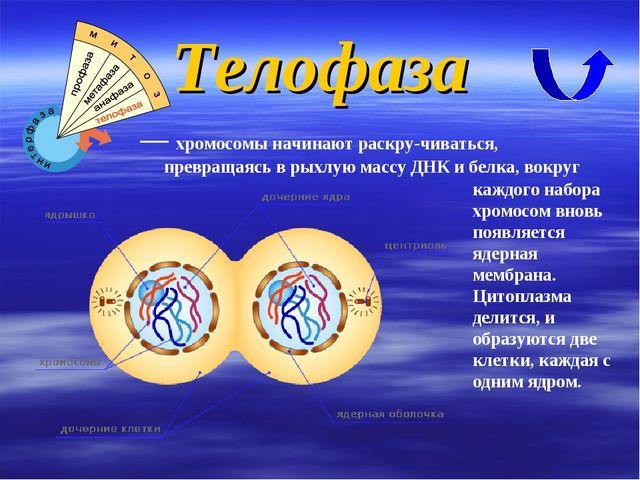 Телофаза — хромосомы начинают раскручиваться, превращаясь в рыхлую массу ДНК...