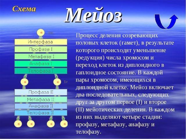 Мейоз Процесс деления созревающих половых клеток (гамет), в результате которо...