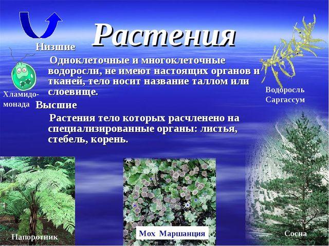 Растения Низшие Одноклеточные и многоклеточные водоросли, не имеют настоящих...