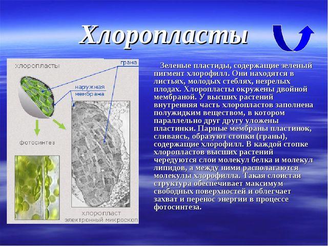 Хлоропласты Зеленые пластиды, содержащие зеленый пигмент хлорофилл. Они наход...