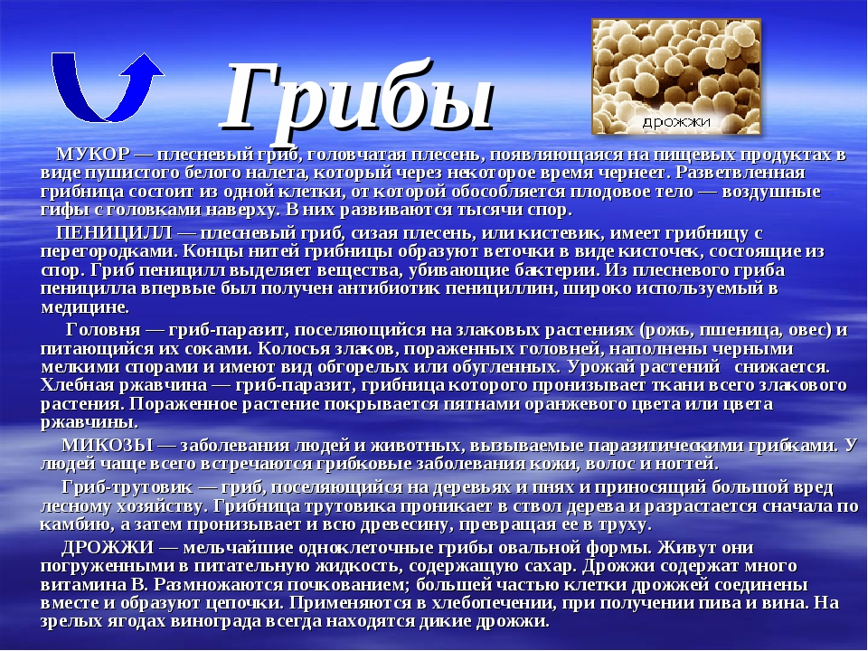 Грибы МУКОР — плесневый гриб, головчатая плесень, появляющаяся на пищевых про...