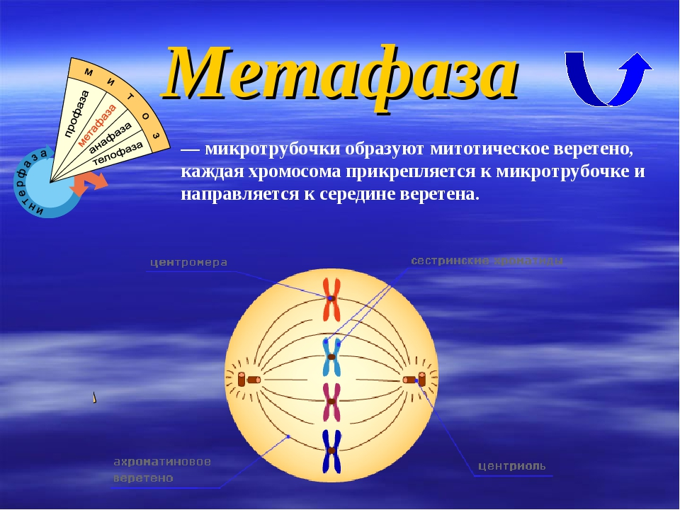 Метафаза — микротрубочки образуют митотическое веретено, каждая хромосома при...