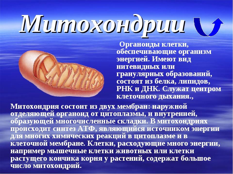 Митохондрии Органоиды клетки, обеспечивающие организм энергией. Имеют вид нит...