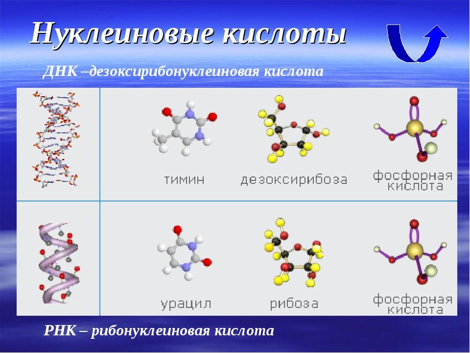 Нуклеиновые кислоты ДНК –дезоксирибонуклеиновая кислота РНК – рибонуклеиновая...