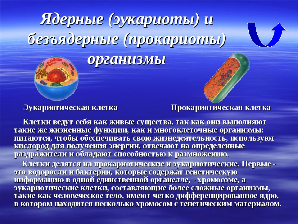 Ядерные (эукариоты) и безъядерные (прокариоты) организмы Клетки ведут себя ка...