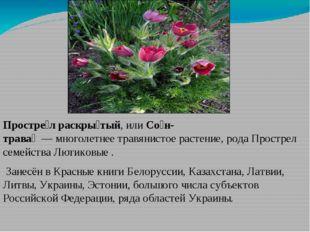 Простре́л раскры́тый, илиСо́н-трава́—многолетнеетравянистое растение,р