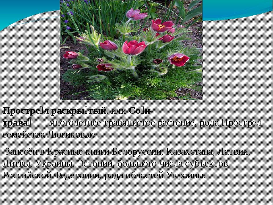 Простре́л раскры́тый, илиСо́н-трава́—многолетнеетравянистое растение,р...