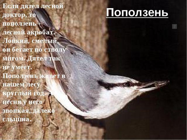 Поползень Если дятел лесной доктор, то поползень - лесной акробат. Ловкий, см...