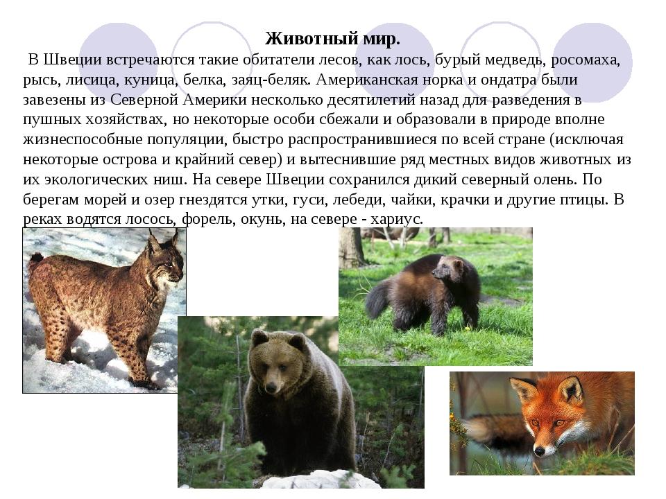 Животный мир. В Швеции встречаются такие обитатели лесов, как лось, бурый мед...