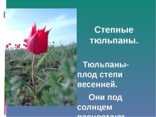Степные тюльпаны. Тюльпаны- плод степи весенней. Они под солнцем расцветают.