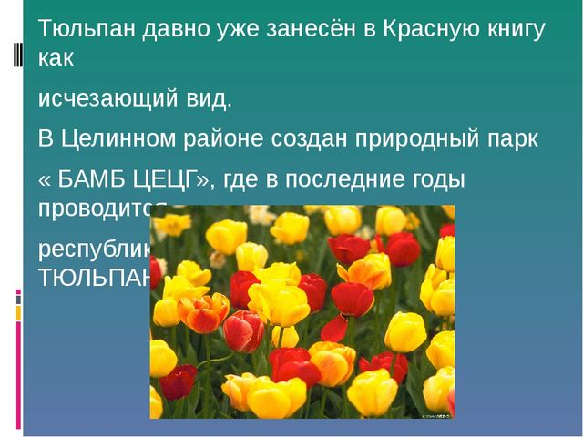 Тюльпан давно уже занесён в Красную книгу как исчезающий вид. В Целинном райо...