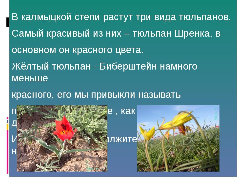 В калмыцкой степи растут три вида тюльпанов. Самый красивый из них – тюльпан...