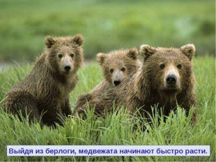 Выйдя из берлоги, медвежата начинают быстро расти.