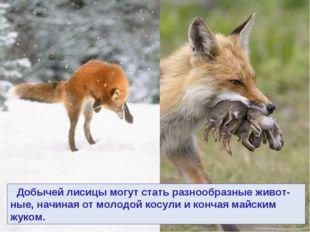 Добычей лисицы могут стать разнообразные живот-ные, начиная от молодой косул