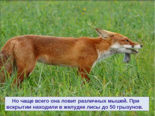 Но чаще всего она ловит различных мышей. При вскрытии находили в желудке лис