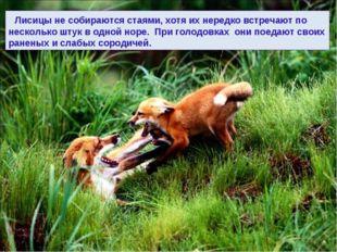 Лисицы не собираются стаями, хотя их нередко встречают по несколько штук в о