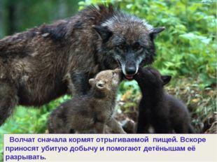 Волчат сначала кормят отрыгиваемой пищей. Вскоре приносят убитую добычу и по