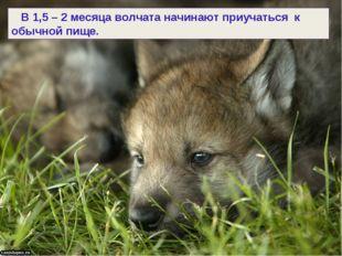 В 1,5 – 2 месяца волчата начинают приучаться к обычной пище.